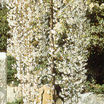 Weeping Cherry, Snow Fountain