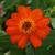Zinnias: Zinnia marylandica 'UpTown Orange Blossom'
