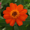 Zinnia, 'UpTown Orange Blossom'