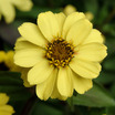 Zinnia, 'UpTown Sunstreak'