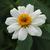 Zinnias: Zinnia marylandica 'UpTown White Wall'