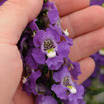 Angelonia, 'Archangel Purple'