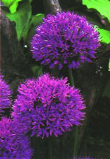 Alliums_allium_aflatunense-1.full