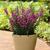 Annuals: Angelonia angustifolia 'Balarcaspim' PPAF