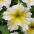 Petunias_petunia_x_hybrida_paparazzi_glitz_yellow.small