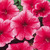 Petunias_petunia_x_hybrida_paparazzi_fashion_cherry.small