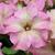 """Petunias: Petunia X hybrida 'Paparazziâ""""¢ Rodeo Rose'"""
