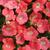 Petunias_petunia_x_hybrida_pop_rocks_coral.small
