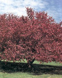 Crabapple Tree, Flowering 'Almey'