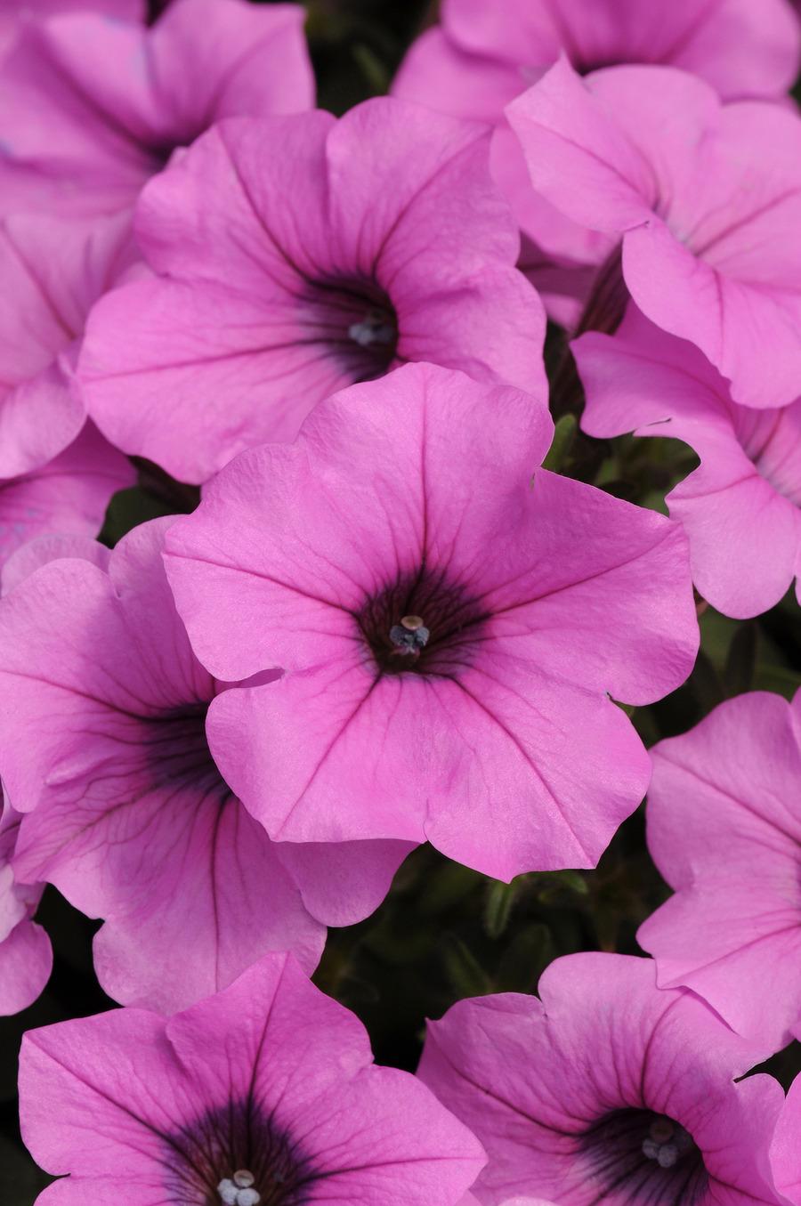 Petunias_petunia_x_hybrida_pop_rocks_lavender.full