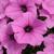 Petunias_petunia_x_hybrida_pop_rocks_lavender.small