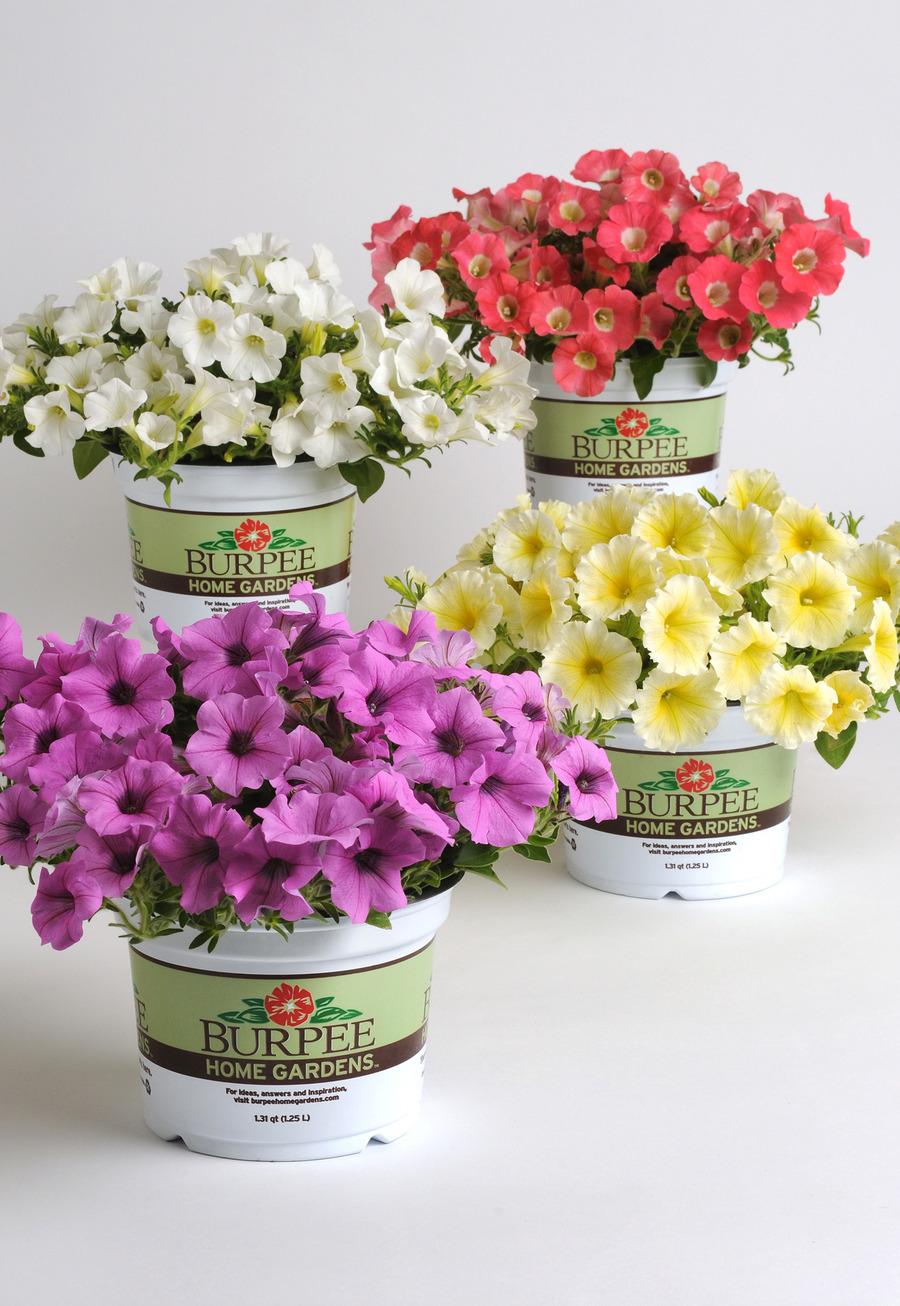 Petunias_petunia_x_hybrida_pop_rocks_lavender-1.full