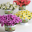 Petunias_petunia_x_hybrida_pop_rocks_lavender-1.thumb
