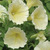 Petunias_petunia_x_hybrida_pop_rocks_yellow.small