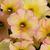 """Petunias: Petunia x hybrida 'Suncatcherâ""""¢ Pink Lemonade'"""