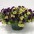 Petunias_petunia_x_hybrida_suncatcher_pink_lemonade-1.small