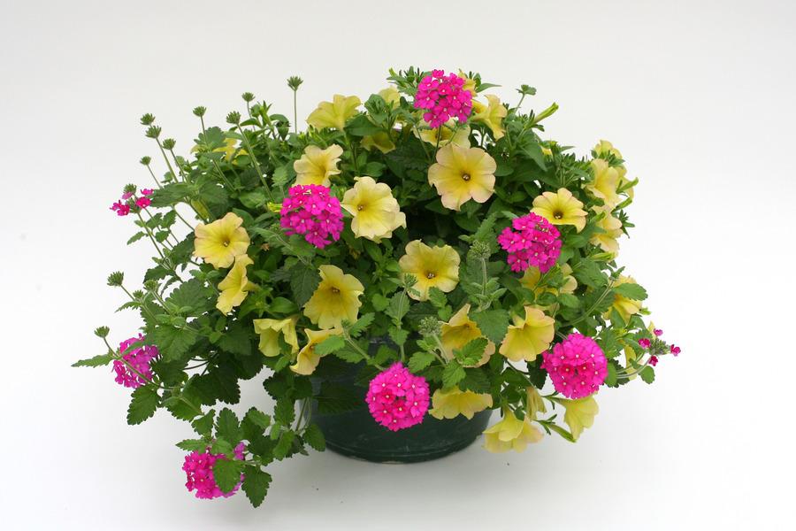 Petunias_petunia_x_hybrida_suncatcher_pink_lemonade-2.full