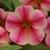 Petunias_calibrachoa_x_hybrida_isabells_rose_star.small