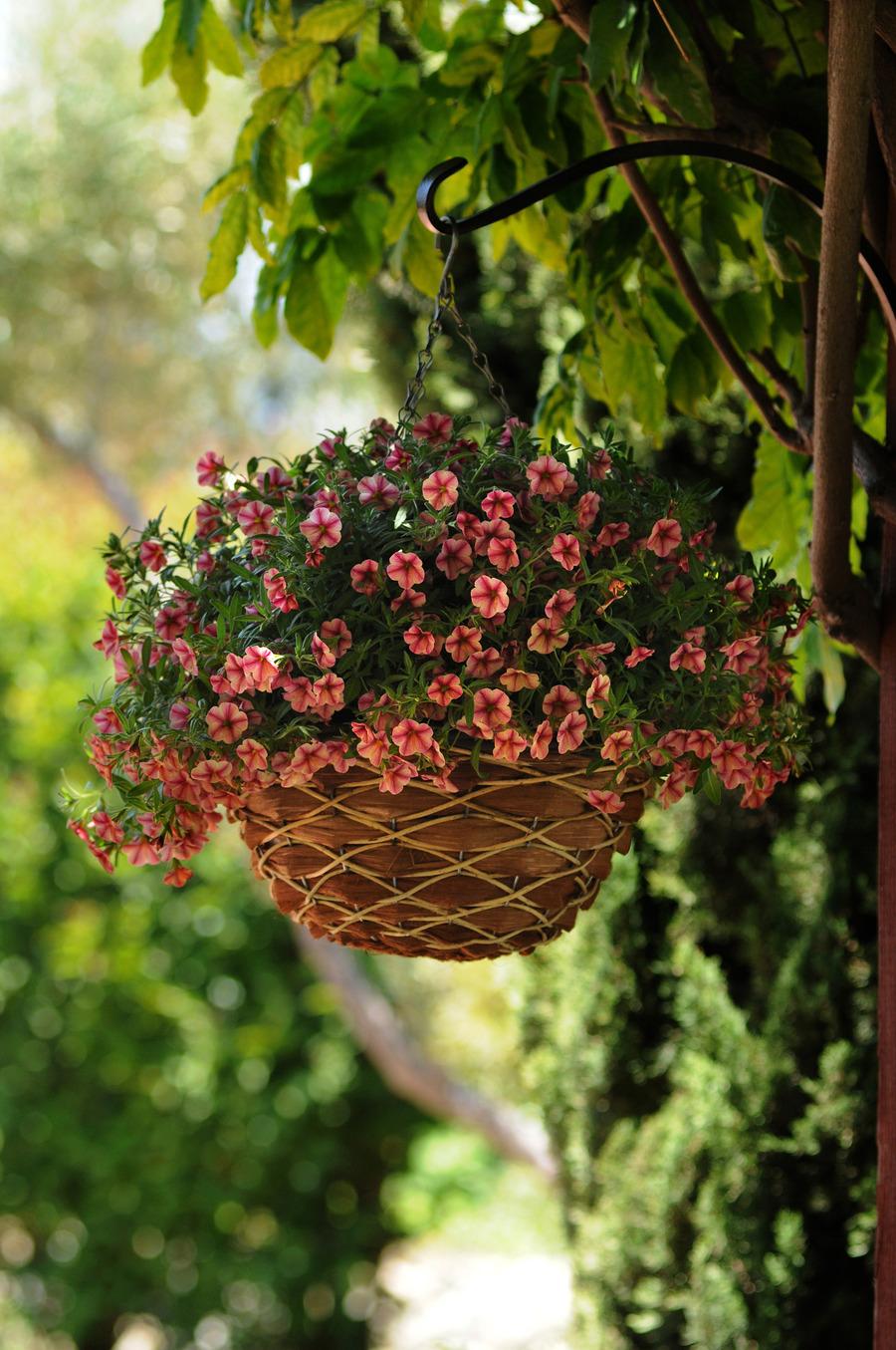 Petunias_calibrachoa_x_hybrida_isabells_rose_star-1.full