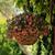 Petunias_calibrachoa_x_hybrida_isabells_rose_star-1.small