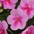 Impatiens_impatiens_walleriana_patchwork_lavender.small