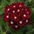 Verbenas_verbena_x_hybrida_aztec_burgundy.small