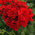 Geraniums_pelargonium_x_hortorum_fantasia_dark_red.small