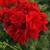 """Geraniums: Pelargonium x hortorum 'Fantasiaâ""""¢ Dark Red'"""