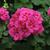 """Geraniums: Pelargonium x hortorum 'Fantasiaâ""""¢ Purple Sizzle'"""