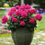 Geraniums_pelargonium_x_hortorum_fantasia_purple_sizzle-1.small