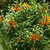 Tropicals_leonotis_leonurus-1.small