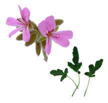 Scented Geranium, Rober's Lemon Rose