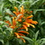 Tropicals_leonotis_leonurus-2.small