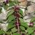Perennials: Callicarpa acuminata