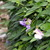Perennials_vigna_caracalla-2.small