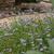 Perennials: Conoclinium greggii