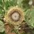 Oaks_quercus_macrocarpa.small