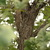 Oaks_quercus_macrocarpa-1.small
