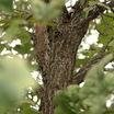 Oaks_quercus_macrocarpa-1.thumb