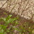 Annuals_talinum_paniculatum.small