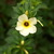 Trees and Shrubs: Turnera trioniflora