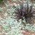Perennials_dichondra_argentea.small