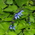 Perennial_salvias_salvia_guaranitica.small