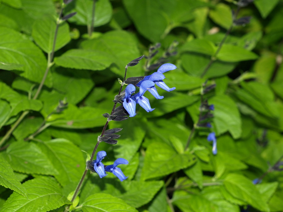1%20carolyn's%20black%20and%20blue%20salvia.full