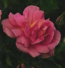 Rose, Antique Early Hybrid Tea 'Lafter' (1948)