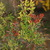 Trees_and_shrubs_nandina_domestica-1.small