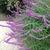 Perennial_salvias_salvia_leucantha-1.small