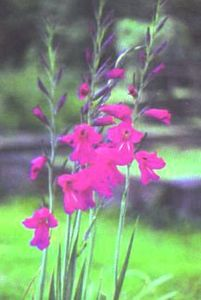 Gladiolus, Winter Hardy