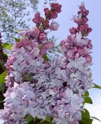 lilacs long questions Burn family lilac collection specimens as well as new disease-resistant lilacs this garden boasts interesting sights and smells long after its.