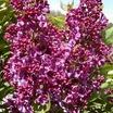 Lilacs_syringa_vulgaris_monge.thumb
